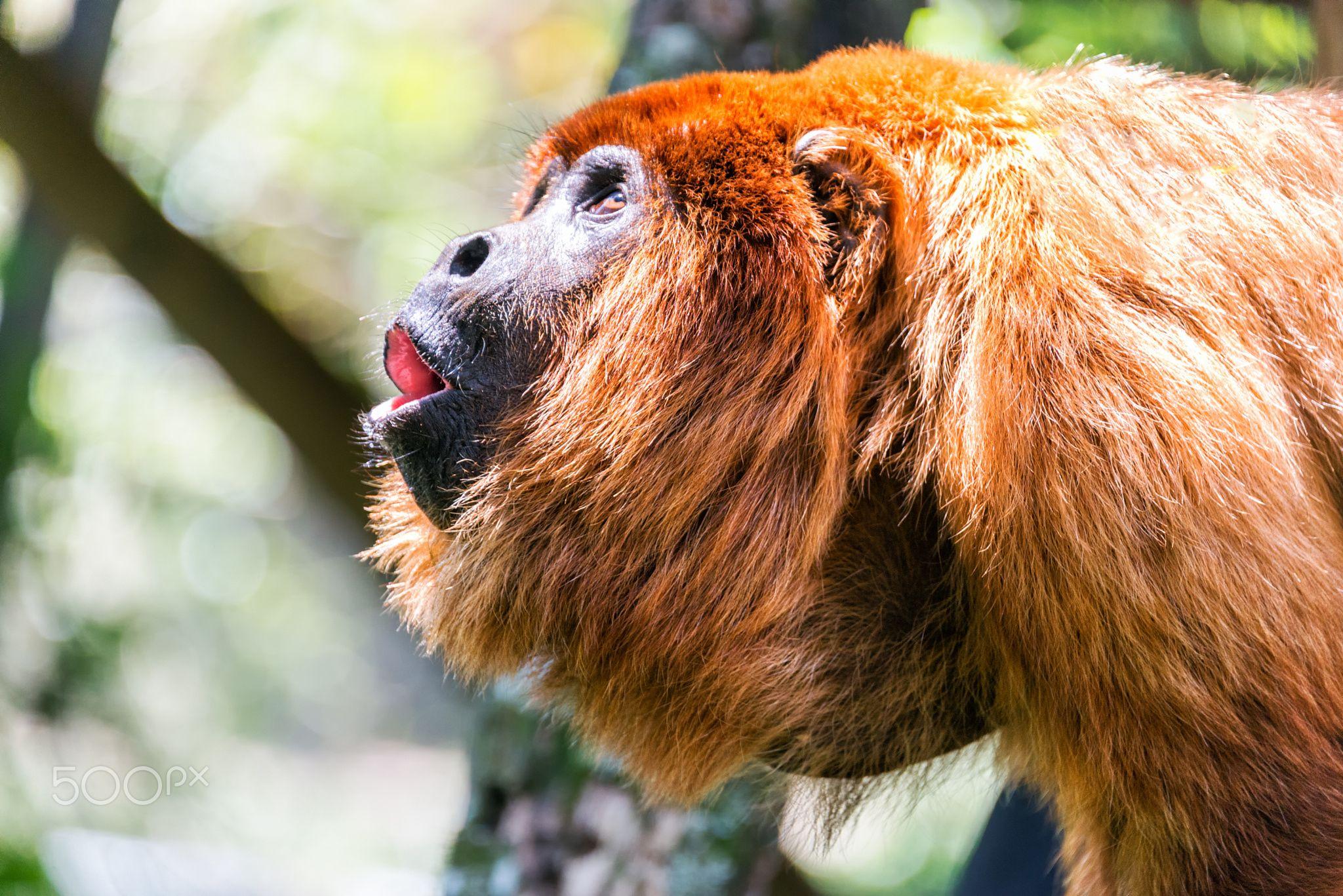 Red Howler Monkey Alpha Male By Jess Kraft  Photo