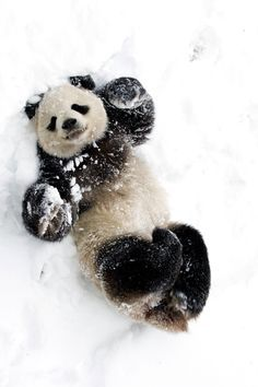 panda en la neu