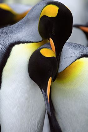 Emperor penguins...they chose one mate for a lifetime and ...