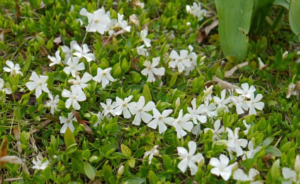 Kleines Immergrün (Vinca Minor, Hier Die Sorte U0027Albau0027) Ist Ein Wintergrüner  Bodendecker Für Humusreiche Böden Im Halbschatten