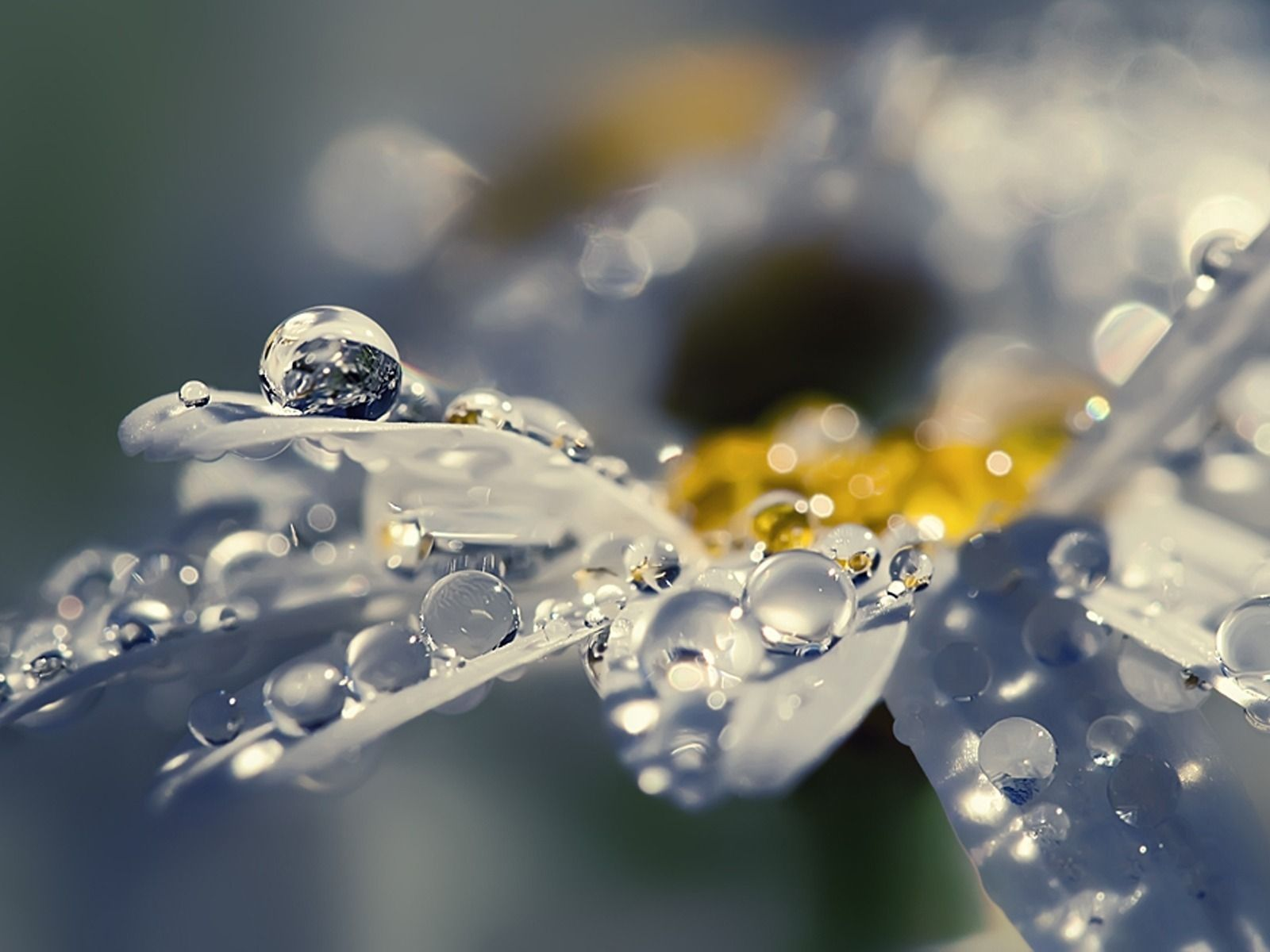 Raindrops Pictures Flower With Raindrops 1600 X 1200 Wallpaper