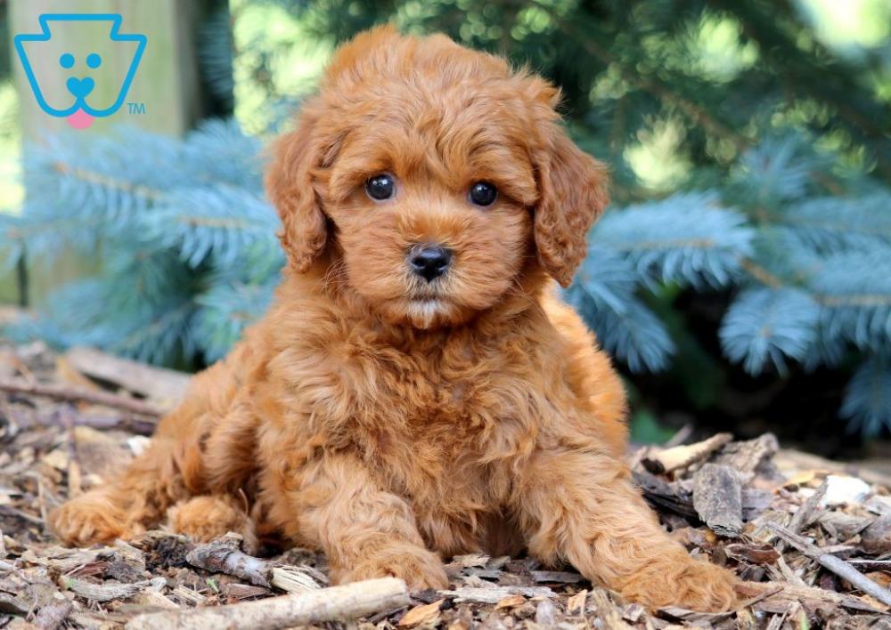 Heaven Cavapoo Puppies Cavapoo Puppies For Sale Cute Puppies