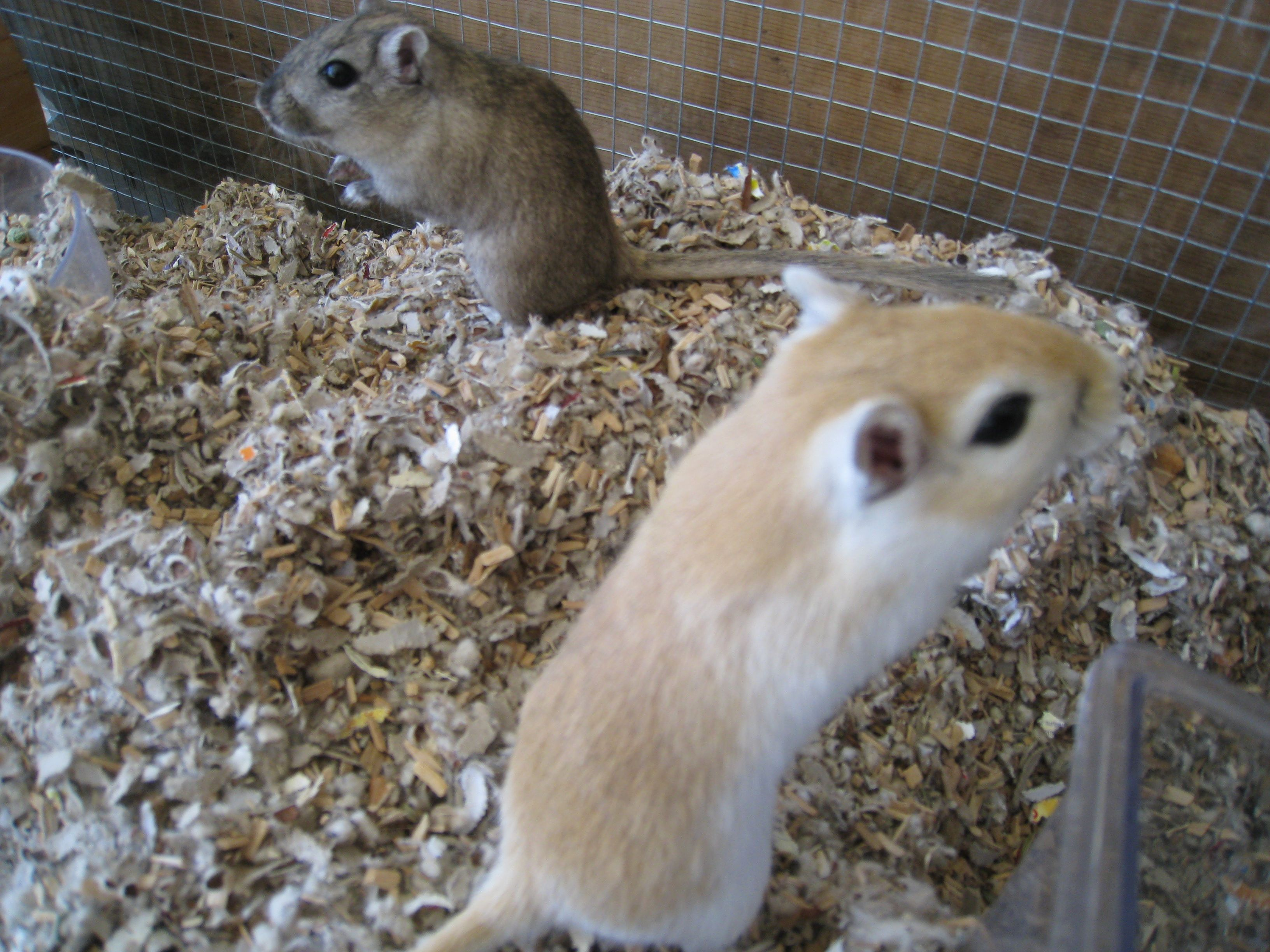Pin By Mia Noel On Gerbils Gerbil Gerbil Cages Cute Creatures