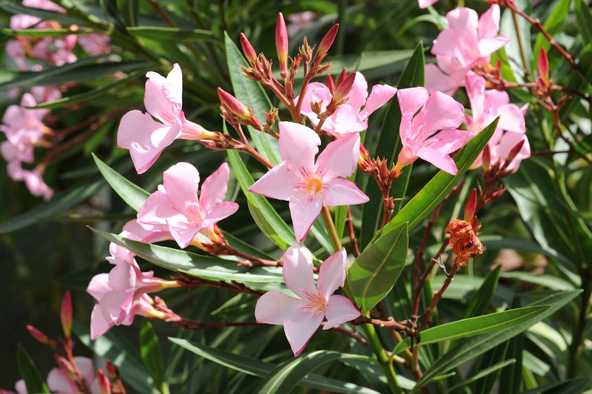 a leander (nerium oleander) gondozása, metszése, teleltetése, Gartengerate ideen