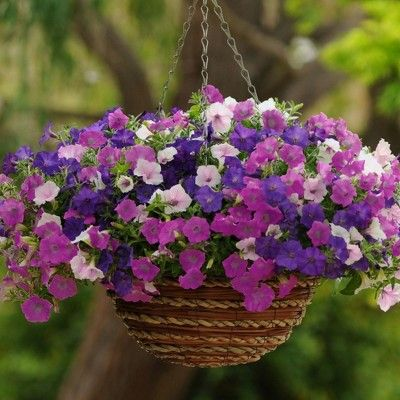 3pc 3 In 1 Wave Petunia Collection National Plant Network With