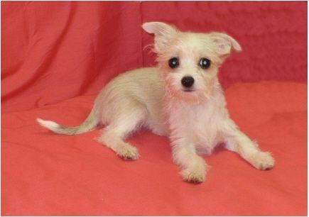 Love Those Chihuahua Ears Female Maltese Chihuahua Mix Malchi