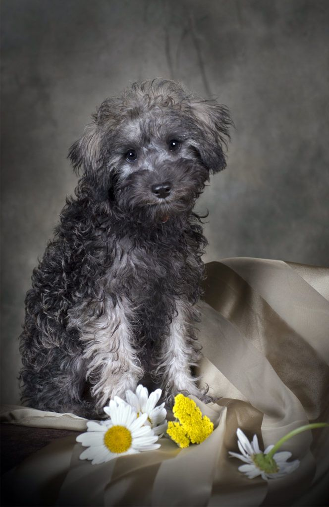 Schnoodle Dog Your Complete Guide to the Schnauzer
