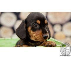 Do You Want To Buy Dachshund Puppies In Mumbai Maharashtra India
