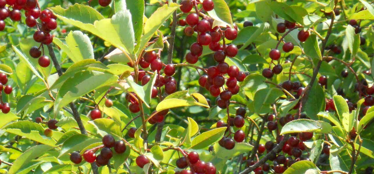 Best Benefits Of Black Cherry Fruit For Skin, Hair And Health Black cherry is one the many edible cherries that you can find, In this article, we list the many health, skin and hair benefits of this cherry.Black cherry is one the many edible cherries that you can find, In this article, we list the many health, skin and hair benefits of this cherry.