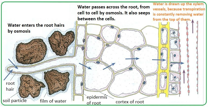 That S How Roots Absorb Water Roots Water Root