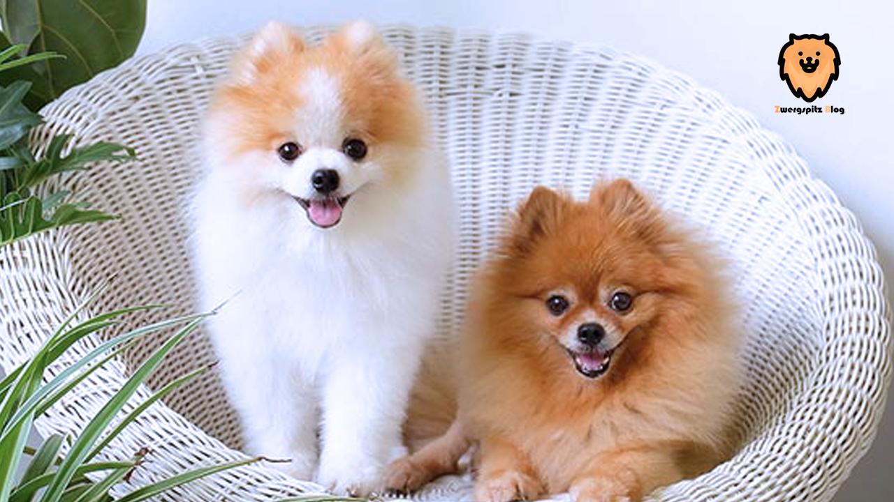 7 Tipps Zum Umgang Mit Ihrem Schwangeren Pomeranian Zwergspitz Hund Tiere Kleine Hunde