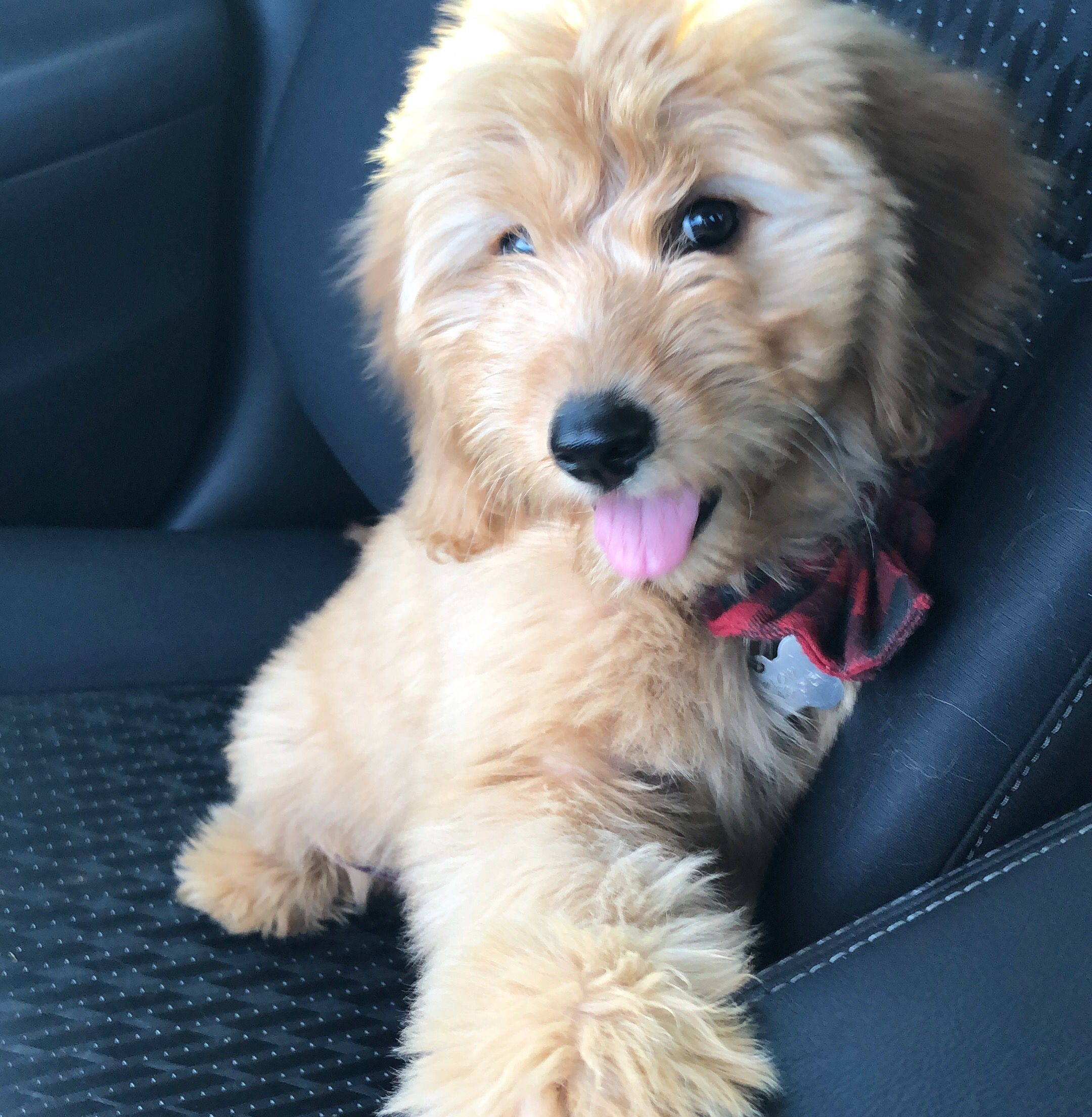 12 Week Old Harlow Her Mom Is A Golden Retriever And Her Dad