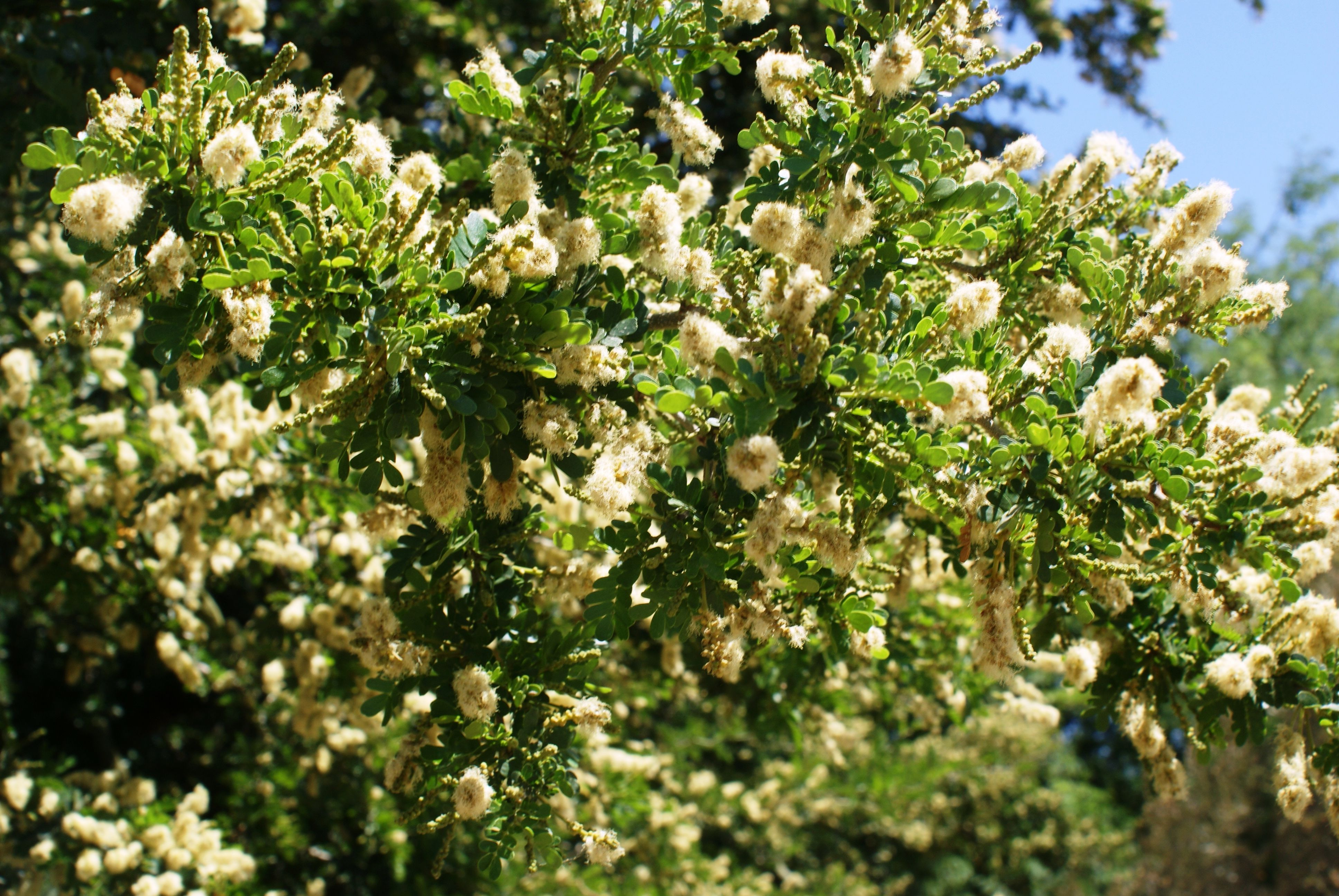 Medium Of Texas Ebony Tree