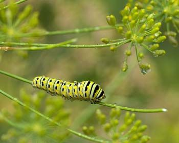 Eastern Black Swallowtail Caterpillar. I planted rue one year, and these caterpillars LOVED it!