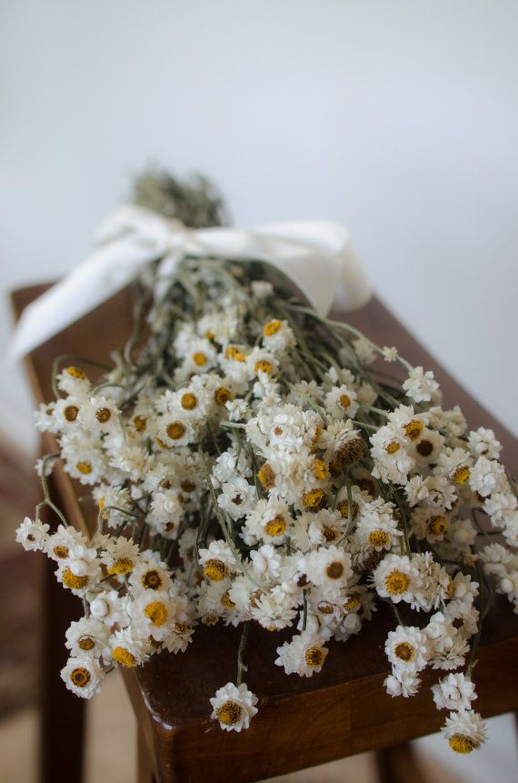 Dried ammobium bunch, winged everlasting dried flowers, white ...