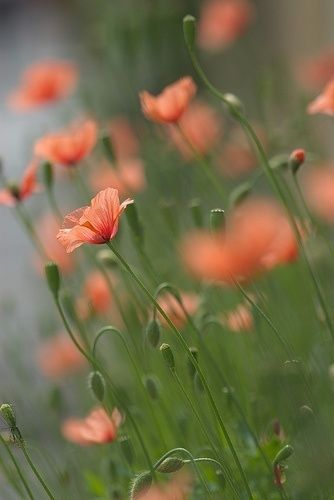 Poppy flowers pinterest flowers and gardens different types of beautiful flowers we know that different flowers are grown in different seasons like spring autumn summer winter etc mightylinksfo
