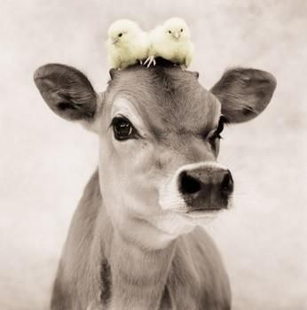 Photo of Jersey Cow with Baby Chicks | Cattle, Cows,Horse (Barn Critt…