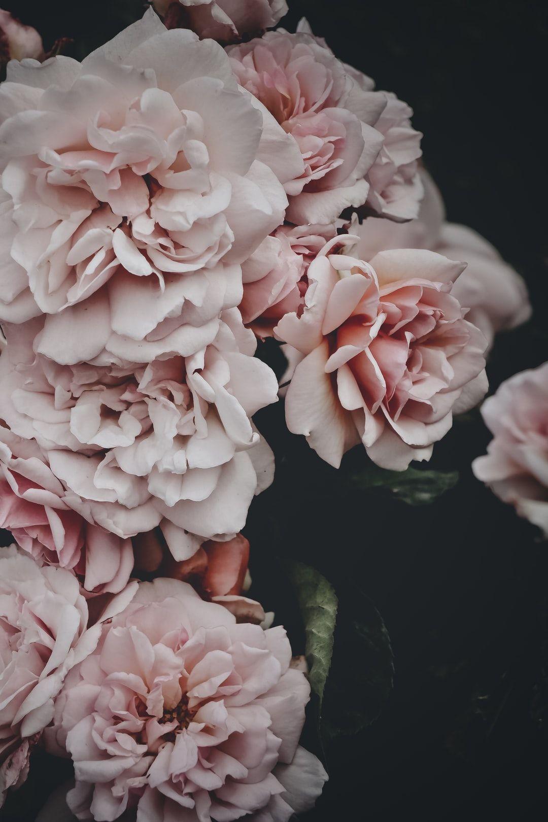 Blush pink peonies flowers HD photo by Embla Munk