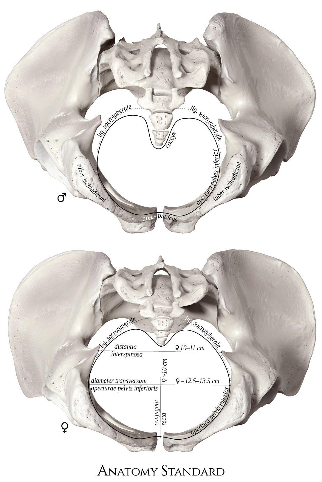 48++ Male pubic bone anatomy ideas in 2021