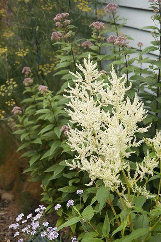 Persicaria Polymorpha Giant White Fleece Flower Will Reach A