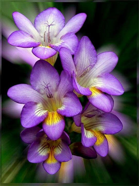 Freesia Cicek Bitki Orkideler