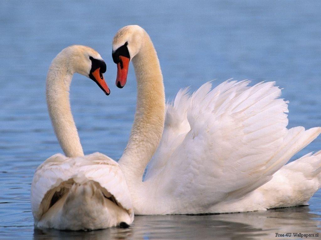 Beautiful Antimated Swan