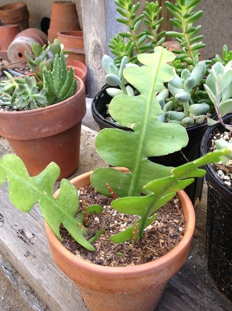 How to Propagate Cactus and Succulent Cuttings