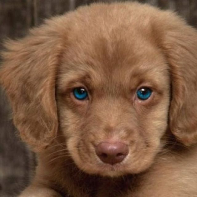 Blue Eyes Golden Retriever Cute Animals Puppies Pets