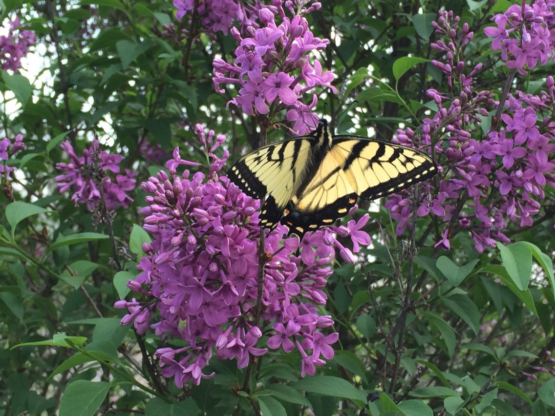 I love Nature! These lilacs & butterflies in my yard make my heart sing!