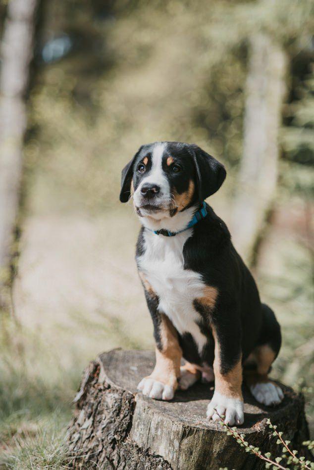 Großer Schweizer Sennenhund Welpe Conni Klueter Fotografie
