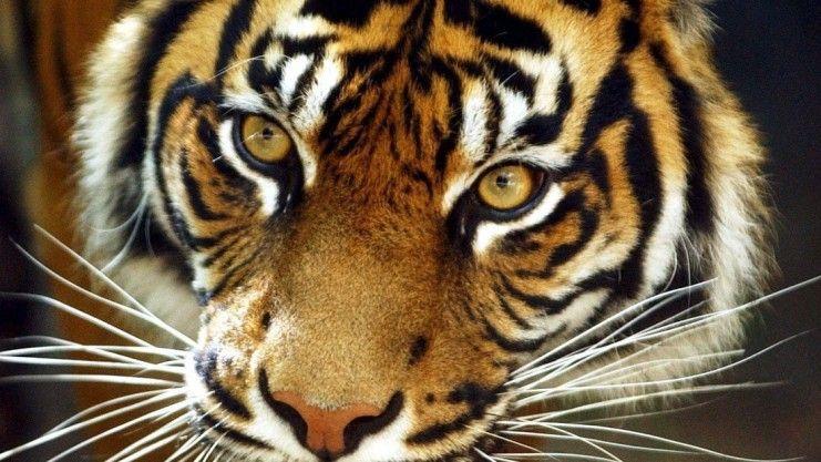 Der #Sumatra-Tiger in #Indonesien steht unmittelbar vor dem #Aussterben. Kaum mehr als 400 der #Raubkatzen würden noch in den letzten Regenwald-Gebieten auf Sumatra existieren, sagt Osnabrücks Zoodirektor Michael Böer. Ab Ostern gibt es dann auch wieder Tiger im Zoo Osnabrück. (Foto: dpa) Weitere Informationen zu dem Thema unter www.noz.de/artikel/429281