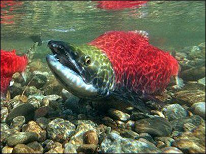 live salmon Google Search Salmon, Fish, Turtle