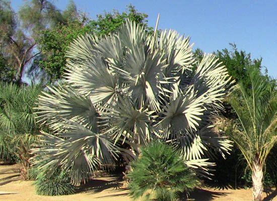 Bismarck Palm For Cold Hardy Arizona Trees Moon Valley Nursery Phoenix