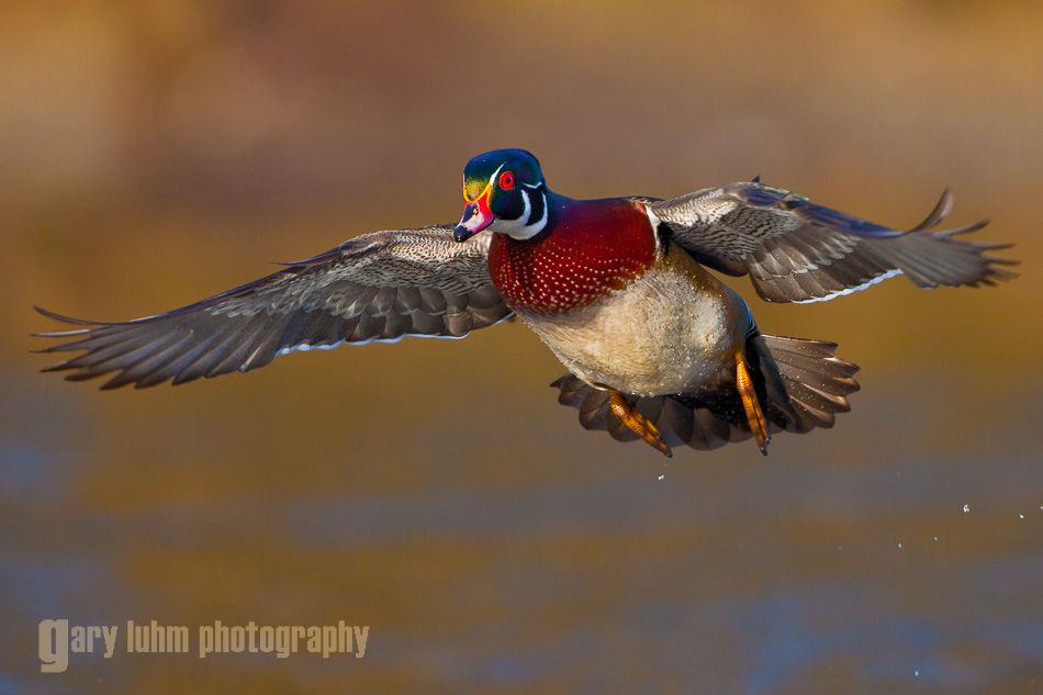 Wood Duck, male, flight. Lake Washington, Seattle.
