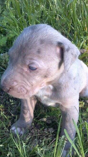 Hoots Catahoulas Puppy For Sale See Us On Fb Puppies For Sale Puppies Animals