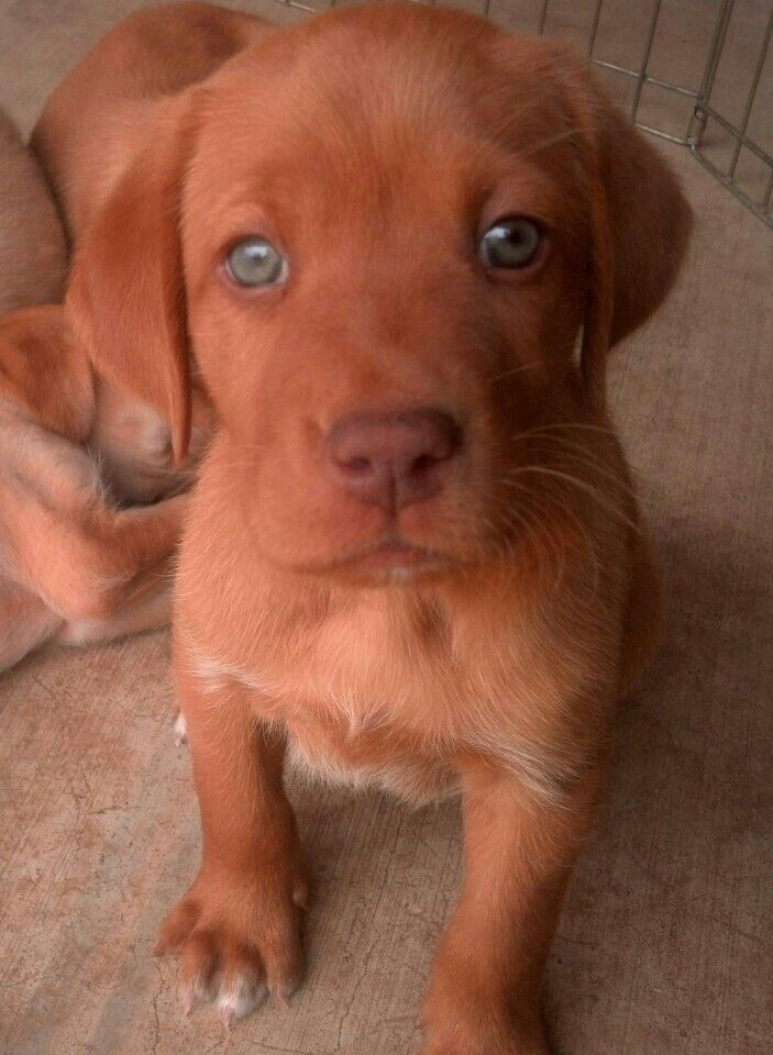 Fox Red Lab Puppy Id Name Him Major