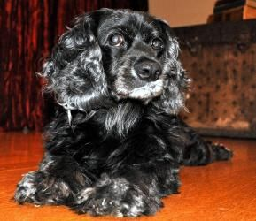 Adopt Sonny On Petfinder Cocker Spaniel Dog Dog Adoption Dogs And Puppies