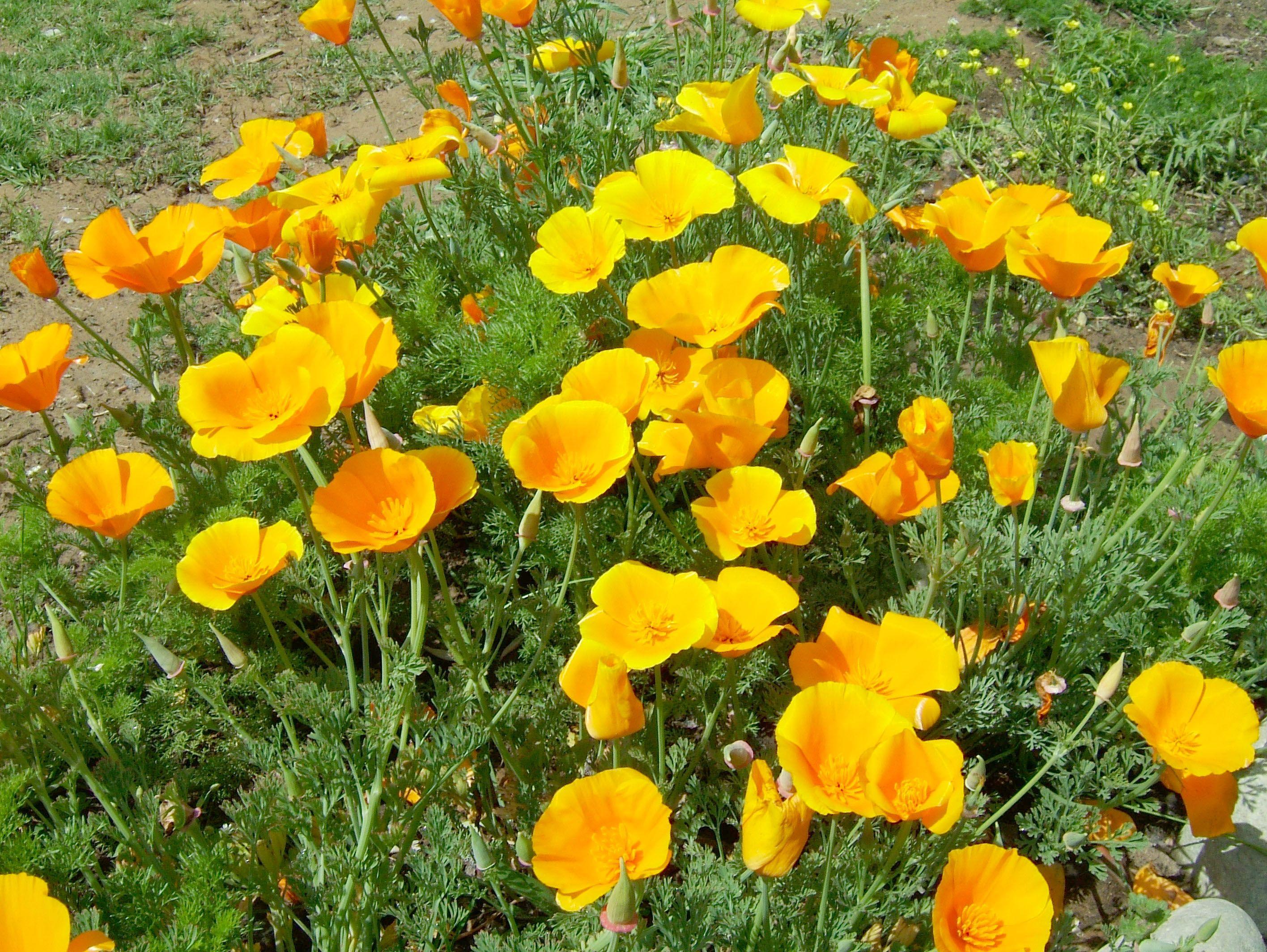 Asisbiz Flowers Localwildspringflowerssrinagarkashmirindia