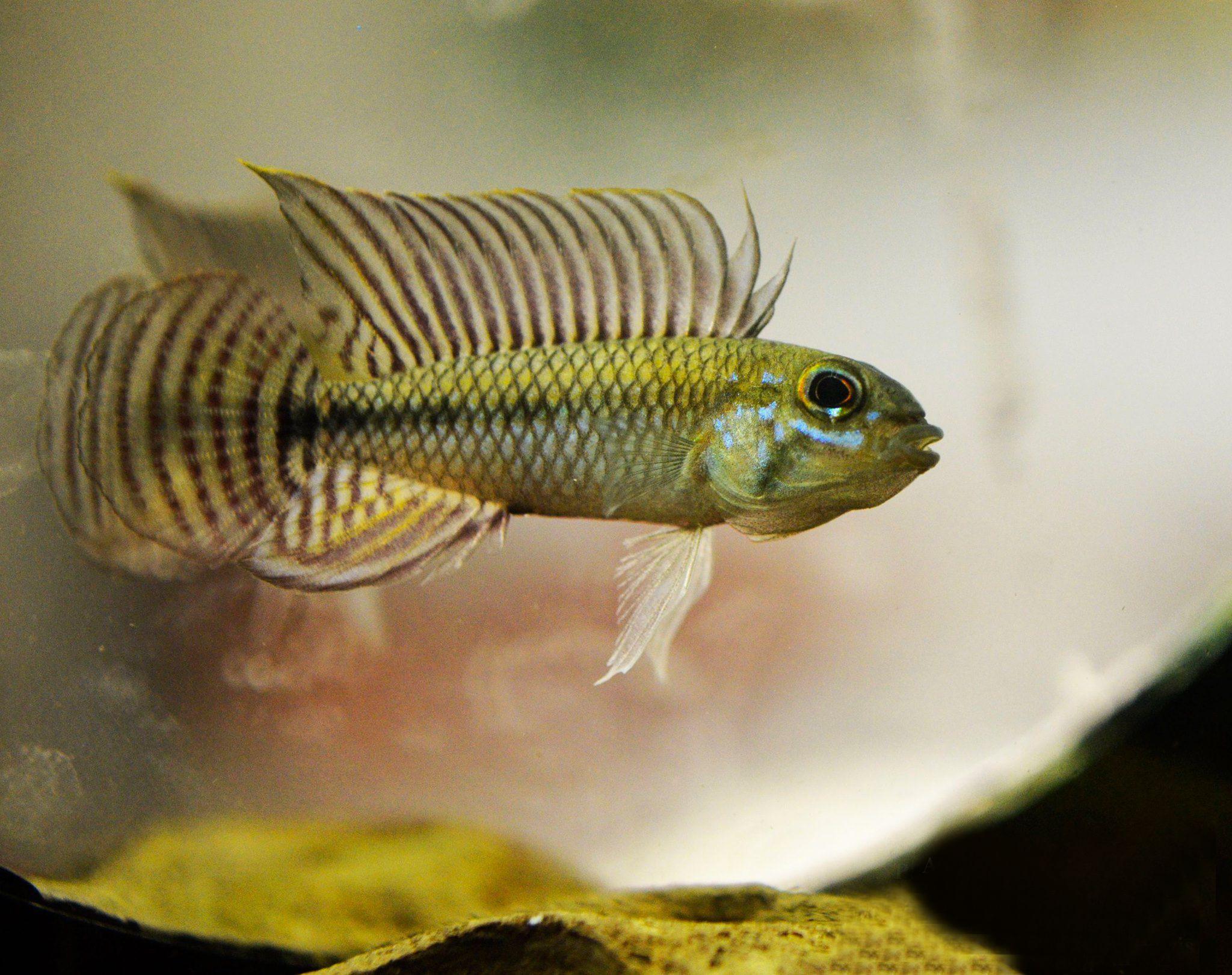 520l cabinet aquarium fish tank tropical - Apistogramma Cf Pertensis Tropical Aquariumtropical Fishfish Aquariumsaquarium