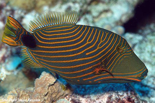 Orange Striped Triggerfish Balistapus Undulatus Marshall Islands Underwater Photos Ocean Creatures Sea Fish Marine Fish