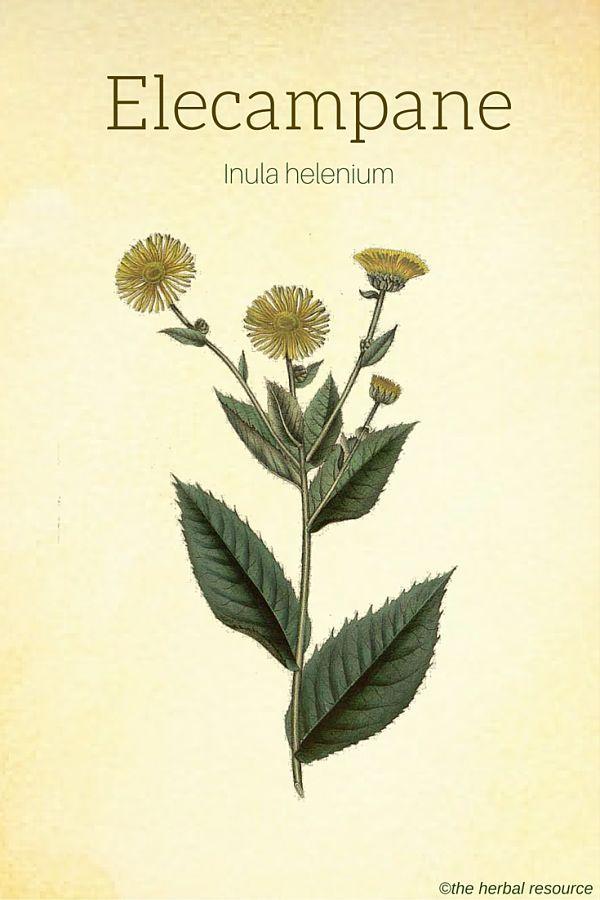Elecampane Health Benefits And Side Effects Herbalism Herbal Healing Healing Plants