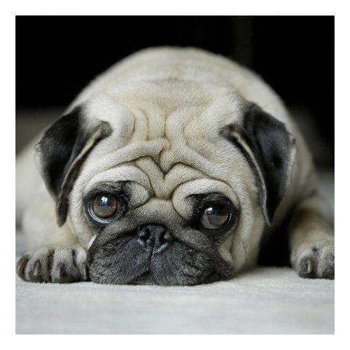 Litter Of 9 Belgian Malinois Puppies For Sale In Ontario Ca Adn