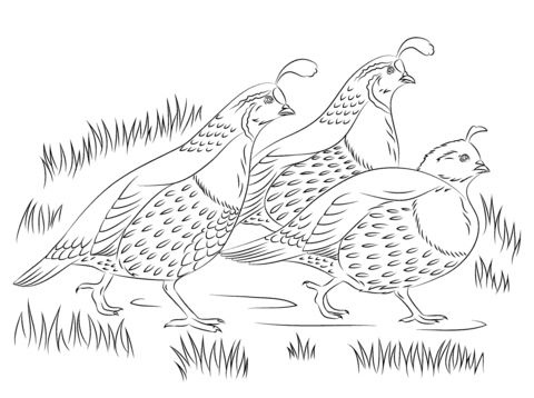 California Quails Coloring Page Free Printable Coloring Pages Farm Animal Coloring Pages Animal Coloring Pages Bird Coloring Pages