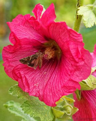 Visiting the Hollyhock