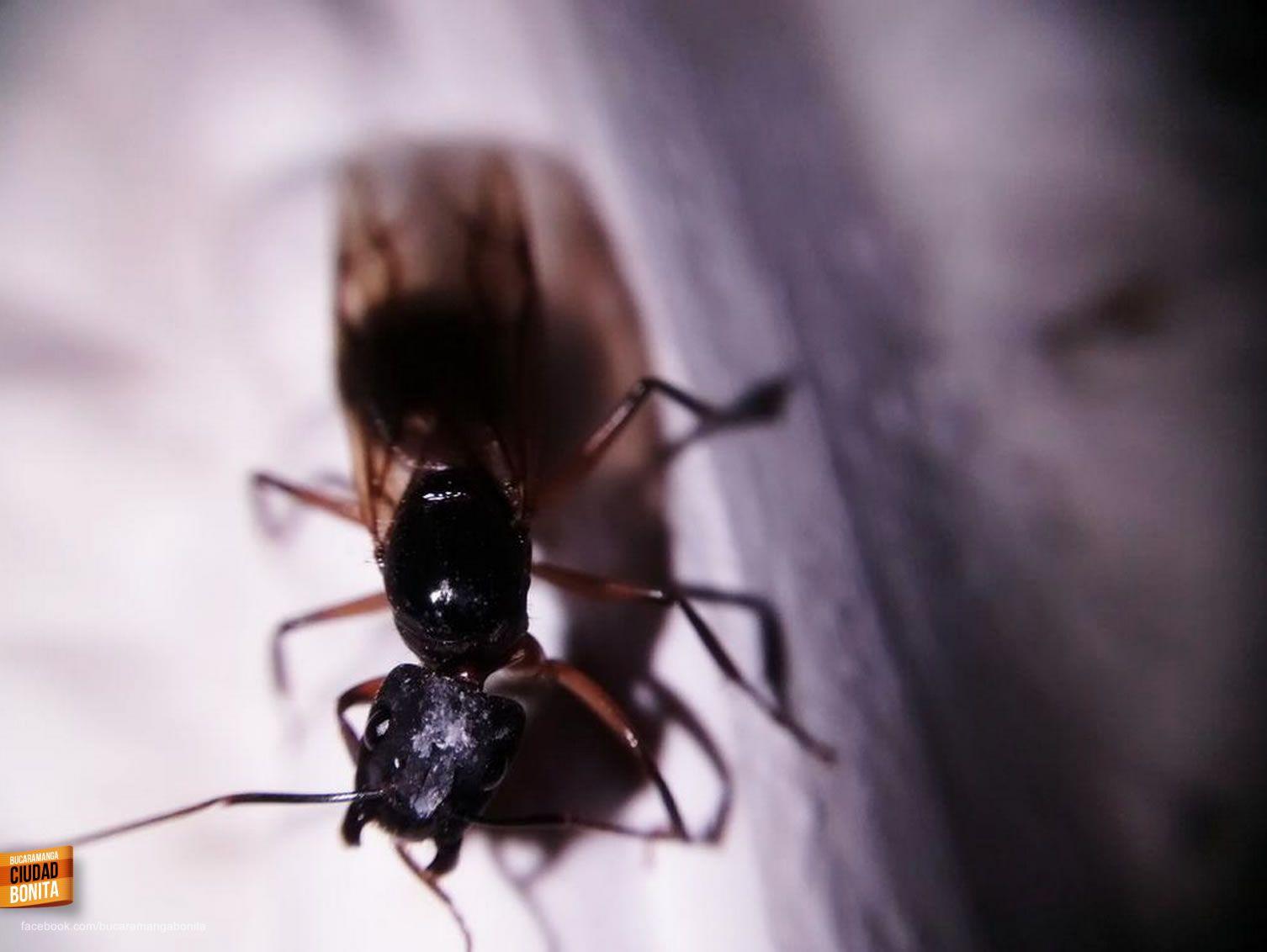 Comienza Oficialmente La Temporada De Hormigas Culonas En  # Muebles Silva Bucaramanga