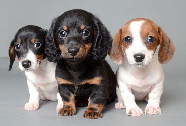 Justpuppies Net Better Puppies Better Prices Better Hurry