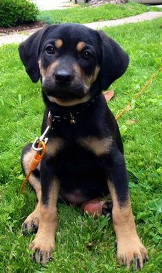 Raggle Puppy Rat Terrier X Beagle Beagle Mix Puppies