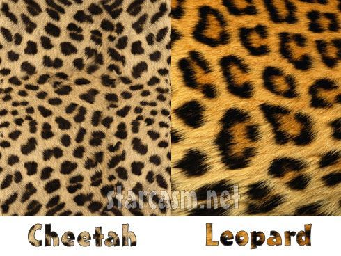 Lets Make Things Clear Leopard Prints Vs Cheetah Prints Nature