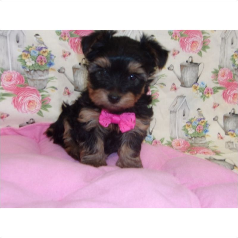 Yorkshire Terrier Puppy For Sale In Tucson Az Adn 70333 On