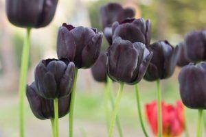 10 schwarze Pflanzen: Für mehr Drama in Ihrem Garten - Plantura